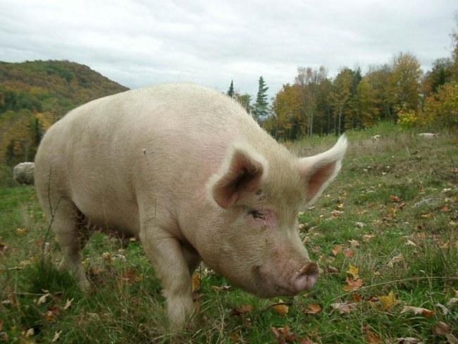 Interesting facts about pigs | Free Range Pork Association